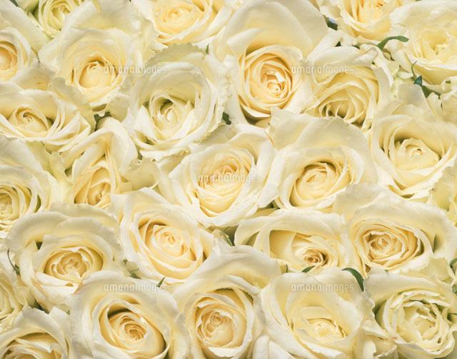 白いバラ の写真素材 イラスト素材 アマナイメージズ
