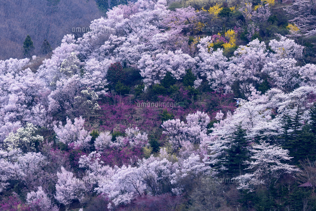 春爛漫の花見山