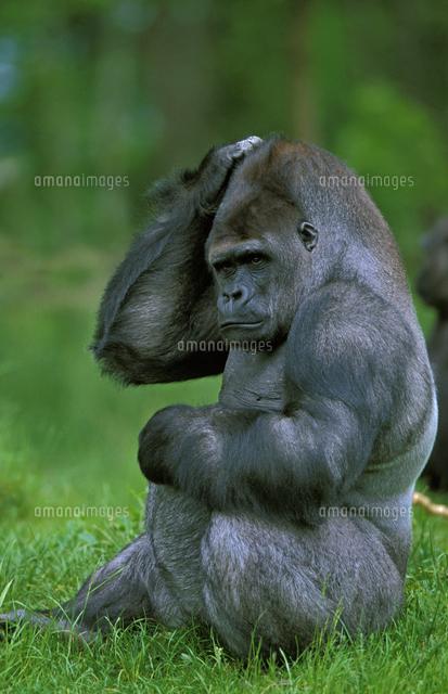 頭をかくヒガシローランドゴリラ の写真素材 イラスト素材 アマナイメージズ