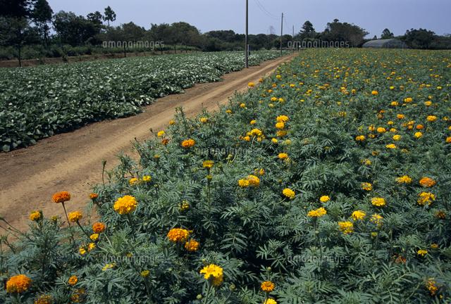 センチュウ駆除のため畑に植えられたマリーゴールド の写真素材 イラスト素材 アマナイメージズ