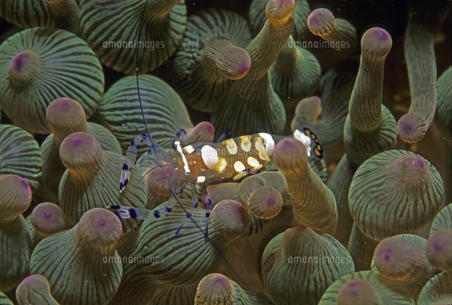 イソギンチャク類と共生するイソギンチャクエビ の写真素材 イラスト素材 アマナイメージズ