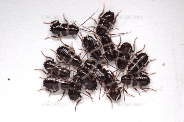 幼虫 クロ ゴキブリ
