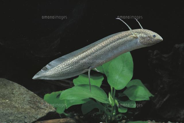 飼育 肺魚