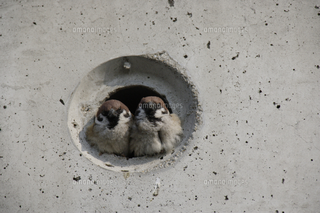 スズメ 巣 作り
