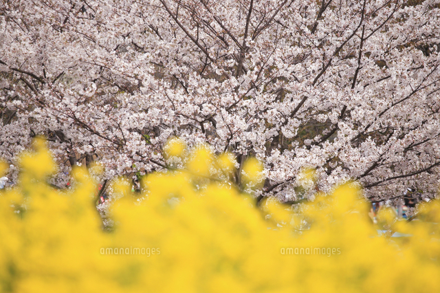 菜の花と桜
