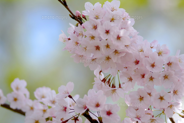 桜 ソメイヨシノ