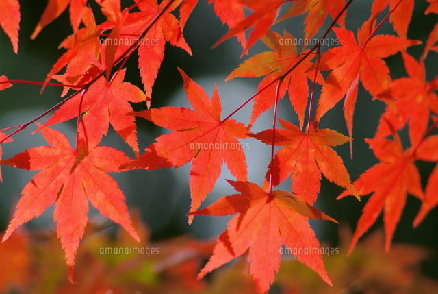 紅葉
