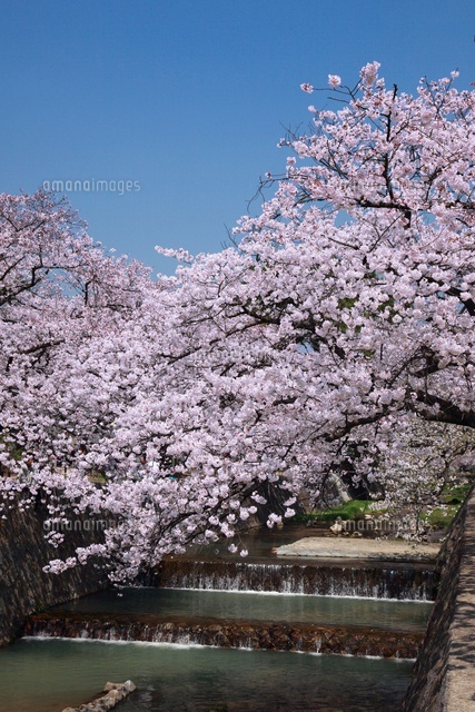 桜咲く夙川公園