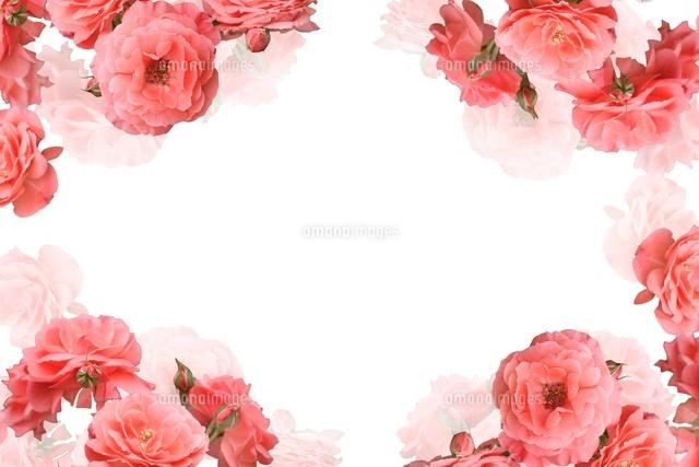 バラのフレーム の写真素材 イラスト素材 アマナイメージズ