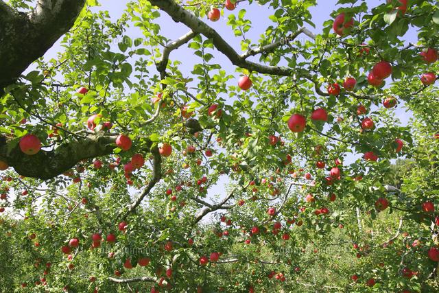 イラスト りんご の 木