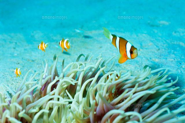 海底のクマノミとイソギンチャク の写真素材 イラスト素材 アマナイメージズ