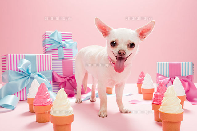 Chihuahua with birthday gifts and ice cream cones