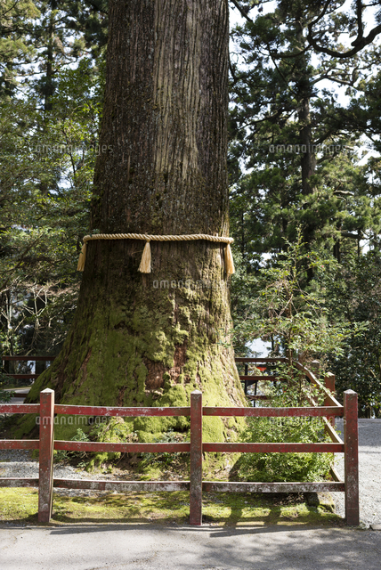 800 year old Cedar tree with yellow straw rope at Hakone Shrine on Lake Ashi