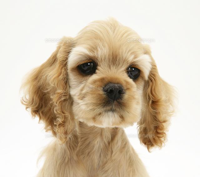 子犬 スパニエル アメリカン コッカー