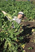 大根を収穫する男の子 10467001407| 写真素材・ストックフォト・画像・イラスト素材|アマナイメージズ