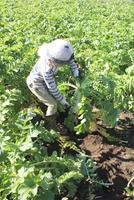 大根を収穫する男の子 10467001409| 写真素材・ストックフォト・画像・イラスト素材|アマナイメージズ