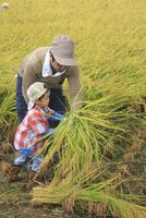稲を収穫する男の子 10467001485| 写真素材・ストックフォト・画像・イラスト素材|アマナイメージズ