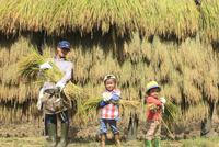 稲を収穫する親子 10467001523| 写真素材・ストックフォト・画像・イラスト素材|アマナイメージズ
