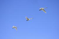 空飛ぶ白鳥 10467001599| 写真素材・ストックフォト・画像・イラスト素材|アマナイメージズ