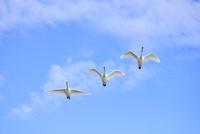 空飛ぶ白鳥 10467001600| 写真素材・ストックフォト・画像・イラスト素材|アマナイメージズ