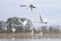 瓢湖の白鳥 10467001610| 写真素材・ストックフォト・画像・イラスト素材|アマナイメージズ