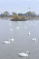 瓢湖の白鳥 10467001624| 写真素材・ストックフォト・画像・イラスト素材|アマナイメージズ