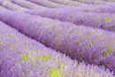 Snowshill lavender field, Worcestershire, United Kingdom The Cotswolds 20025380471| 写真素材・ストックフォト・画像・イラスト素材|アマナイメージズ