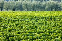 Vines and olive grove of traditional olive trees near Montalcino in Val D'Orcia, Tuscany, Italy 20025380603| 写真素材・ストックフォト・画像・イラスト素材|アマナイメージズ