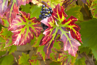 Ripe grapes on a grapevine on stone wall in country garden at Swinbrook in The Cotswolds, Oxfordshire, UK 20025381027| 写真素材・ストックフォト・画像・イラスト素材|アマナイメージズ