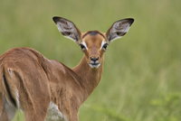 Young impala (Aepyceros melampus) looking at the camera, Addo Elephant National Park, South Africa, Africa